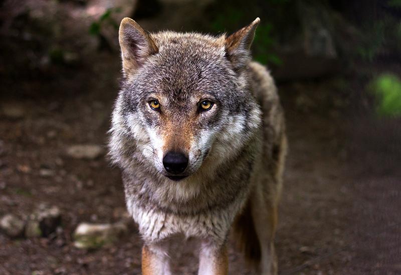 wolf-predator-hunter crop